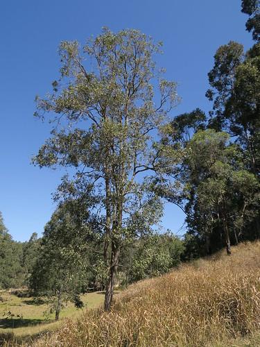 Angophora floribunda tree DC4-1