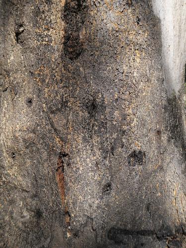 Eucalyptus canaliculata bark DC1-1