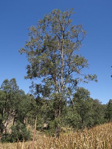 Angophora floribunda tree DC4-2