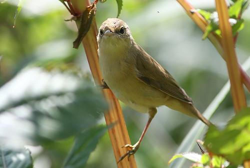 Quarrelsome Warbler