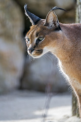 Attentive caracal