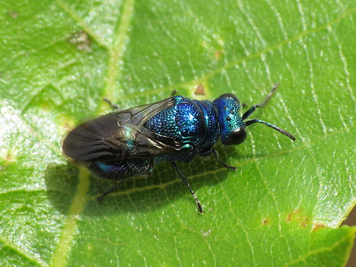 Pseudomalus violaceus (Chrysididae - Jewel Wasps)