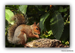 : Sciurus carolinensis Read more at https://www.rspb.org.uk/birds-and-wildlife/wildlife-guides/other-garden-wildlife/mammals/grey-squirrel/#hdWvr32r0JZDCR5J.99
