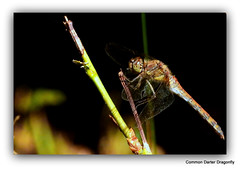 Common Darter Dragonfly.