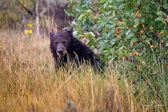 Image by F8shooter (steveornberg) and image name Teton Black Bear in the Rain photo