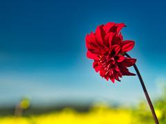 Last summer flowers - Letzte Sommerblume
