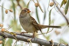 Image by hut640 (184000041@N08) and image name White-crowned Sparrow photo