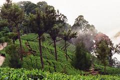 Hill Country - plantacja herbaty w Haputale