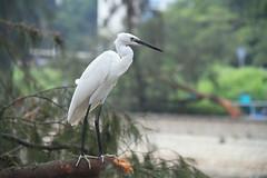 Egret, Hong kong