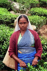 Na plantacji herbaty w Haputale