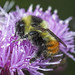 Tri-coloured Bumble Bee - Bombus ternarius (Apidae, Apinae, Bombini) 119z-8113529