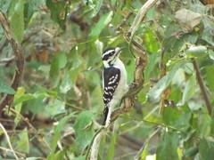 Downy Woodpecker, Bethany Lakes Park, Allen, Texas, September 15, 2019