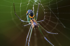 Aranha (Leucauge argyrobapta)