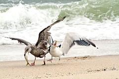 Seagull Drama:  Battle of the Bunker