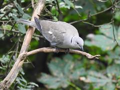 Collared Dove DSCN0426
