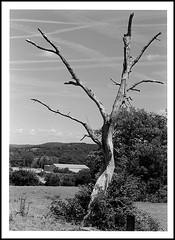 arbre foudroyé ? version argentique