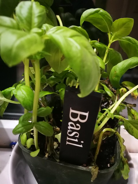 basil planting in indoor plants by shiny