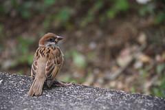 sparrow - Tai Po, Hong Kong