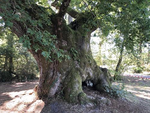 Le chêne de 800 ans de Cantaure (Landes, France) / 800-летний дуб в Кантауре (Ланды, Франция) / Die 800-jährige Eiche in Cantaure (Landes, Frankreich)