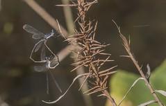 Dark Swamp Spreadwings Mating