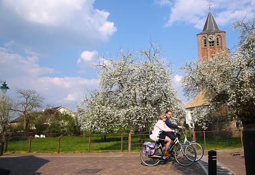 Fietsers fietsen langs de bloesem en de kerktoren