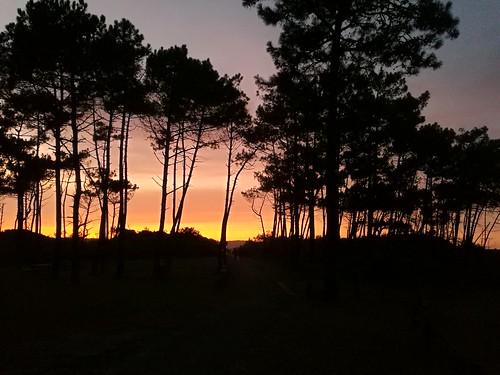 Ombres chinoises des pins landais sous le coucher de soleil
