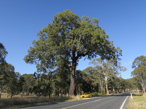 Eucalyptus siderophloia tree NC1-1
