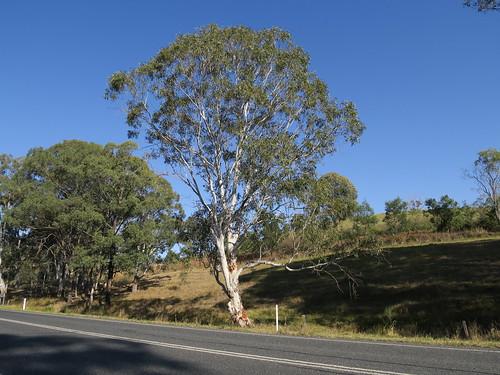 Eucalyptus amplifolia tree NC3-3