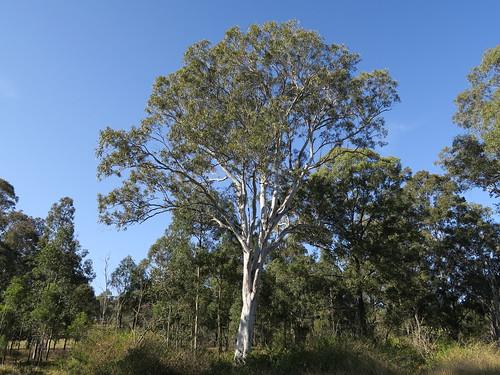 Eucalyptus amplifolia tree NC2-1