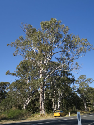 Eucalyptus amplifolia tree NC1-2
