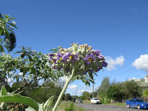 Solanum mauritianum flowerhead NC2
