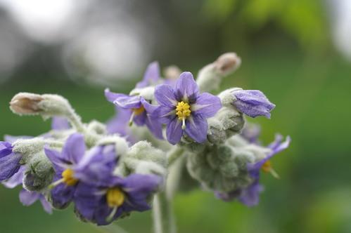 Solanum mauritianum flower NC1