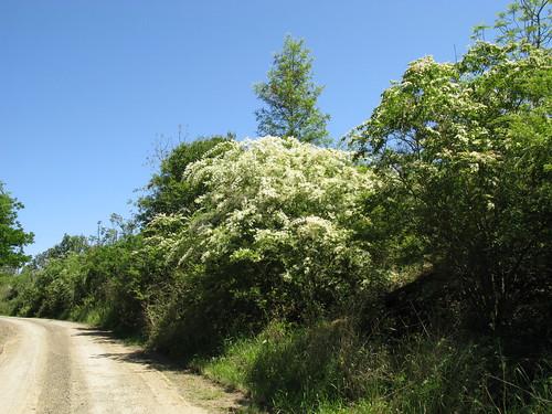 Ligustrum sinense plant NC4