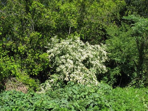 Ligustrum sinense plant NC3