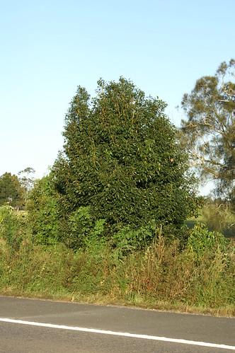 Cinnamomum camphora plant NC1