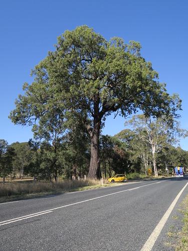 Eucalyptus siderophloia tree NC1-2