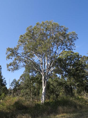 Eucalyptus amplifolia tree NC2-2