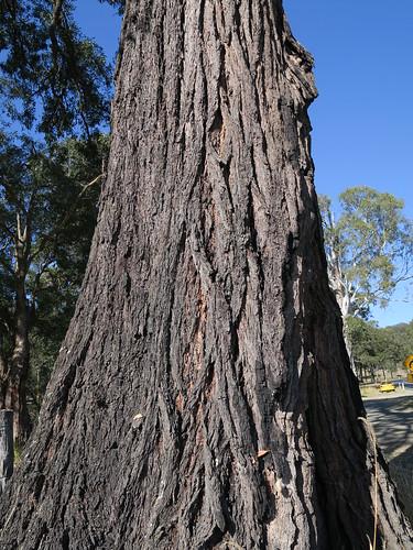 Eucalyptus siderophloia trunk NC1-2