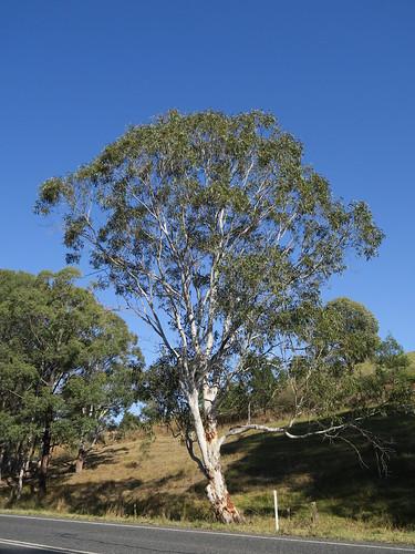 Eucalyptus amplifolia tree NC3-1
