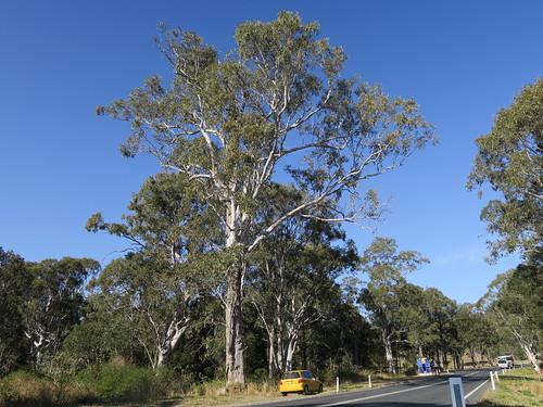 Eucalyptus amplifolia tree NC1-1