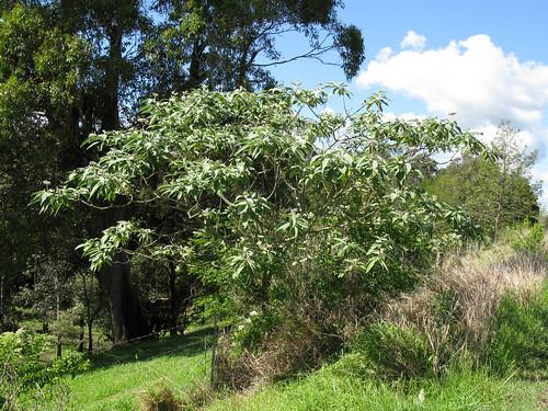 Solanum mauritianum plant NC3
