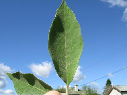 Solanum mauritianum leaf NC3