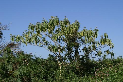 Solanum mauritianum plant NC2