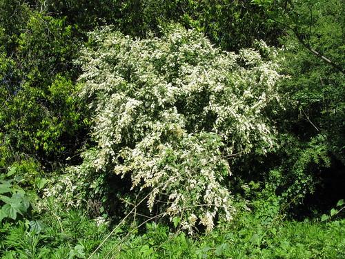 Ligustrum sinense plant NC2