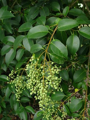 Ligustrum lucidum fruit NC1