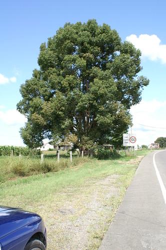 Cinnamomum camphora plant NC2