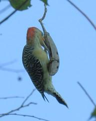 Woodpecker (2)