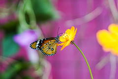 Close up shot of a monarch butterfly on a yellow flower