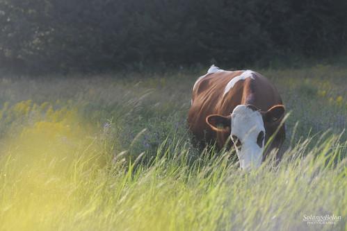 La vache heureuse - Happy cow 2