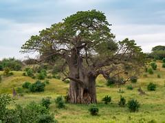 Bao Bao tree - elephants eat bark in dry season